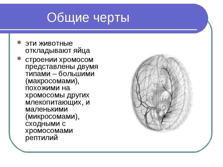 Общие черты эти животные откладывают яйца строении хромосом представлены двум...