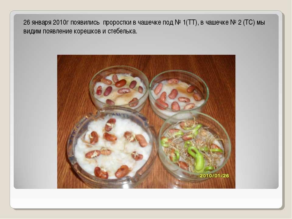 26 января 2010г появились проростки в чашечке под № 1(ТТ), в чашечке № 2 (ТС)...