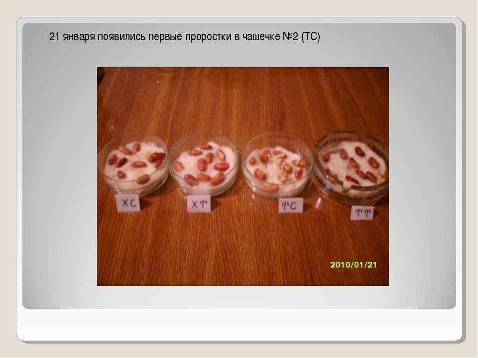 21 января появились первые проростки в чашечке №2 (ТС)