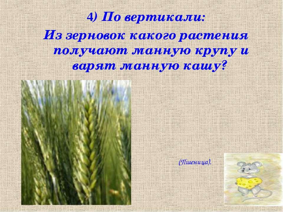 4) По вертикали: Из зерновок какого растения получают манную крупу и варят ма...