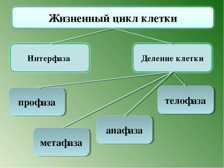 телофаза анафаза профаза метафаза