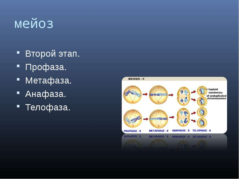 мейоз Второй этап. Профаза. Метафаза. Анафаза. Телофаза.
