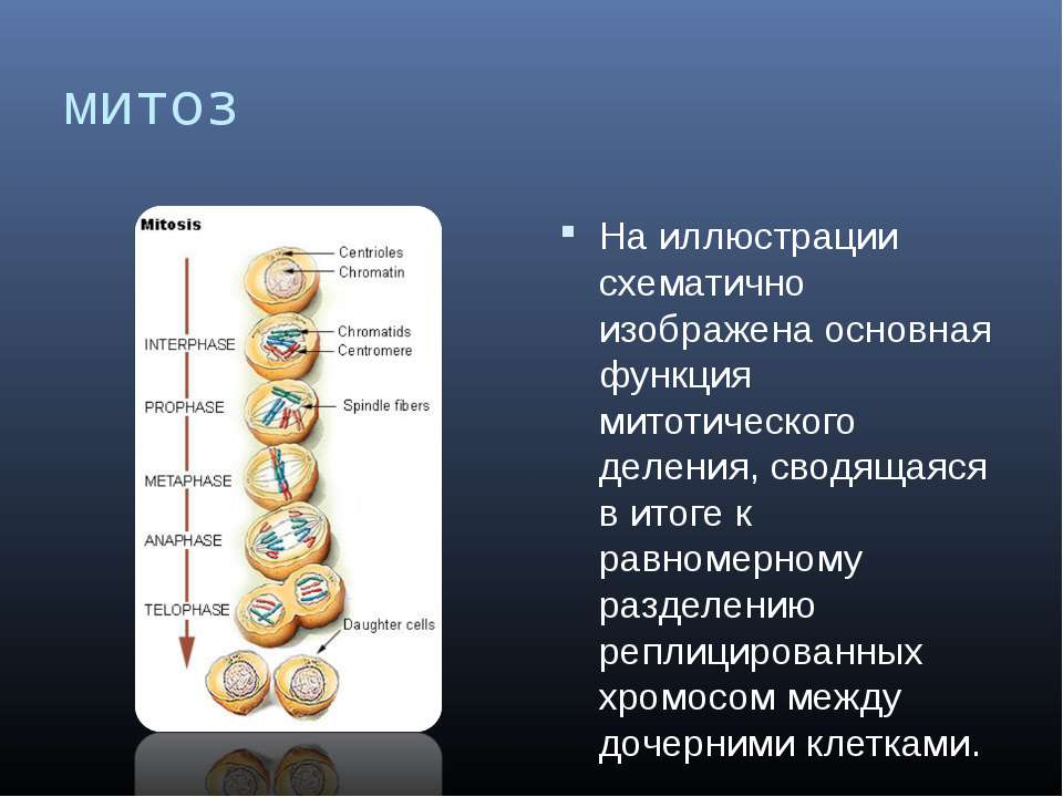 митоз На иллюстрации схематично изображена основная функция митотического дел...
