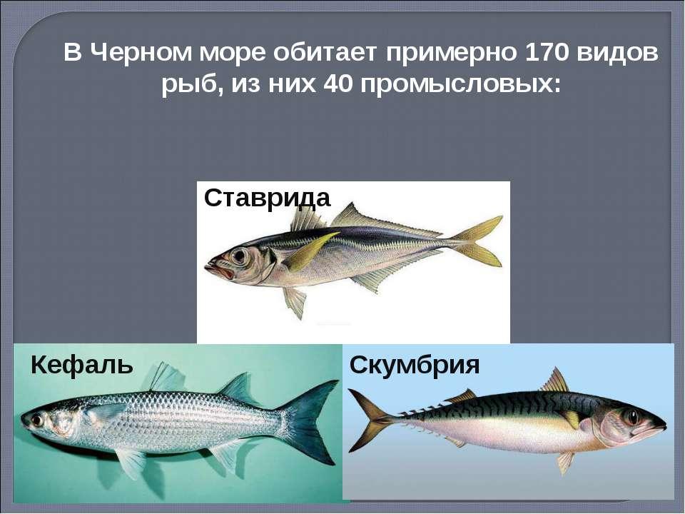 Кефаль Скумбрия В Черном море обитает примерно 170 видов рыб, из них 40 промы...
