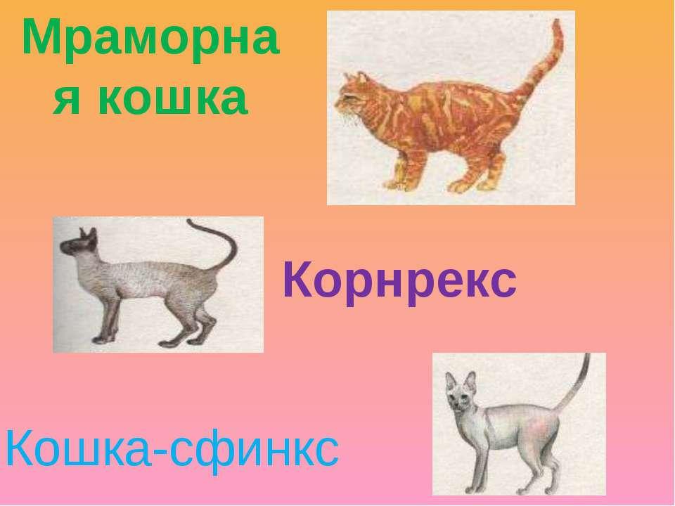Мраморная кошка Корнрекс Кошка-сфинкс