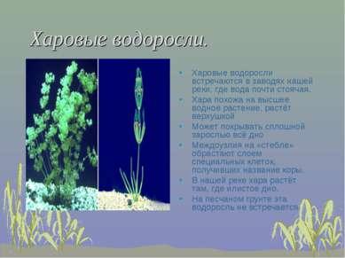 Харовые водоросли. Харовые водоросли встречаются в заводях нашей реки, где во...