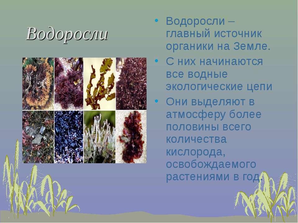 Водоросли Водоросли –главный источник органики на Земле. С них начинаются все...