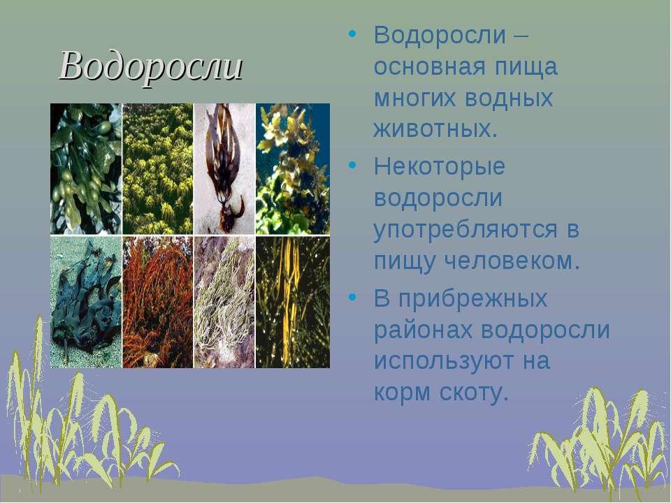 Водоросли Водоросли –основная пища многих водных животных. Некоторые водоросл...