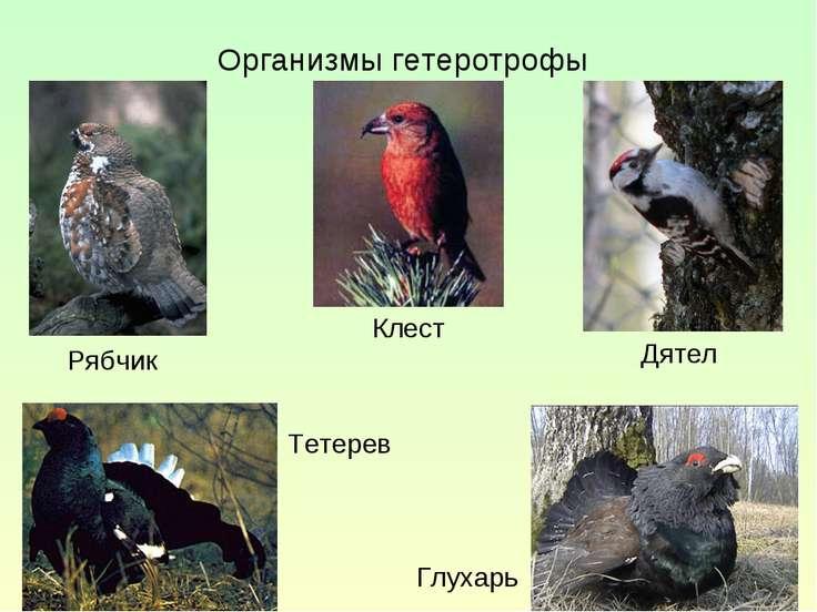 Организмы гетеротрофы Тетерев Рябчик Клест Дятел Глухарь