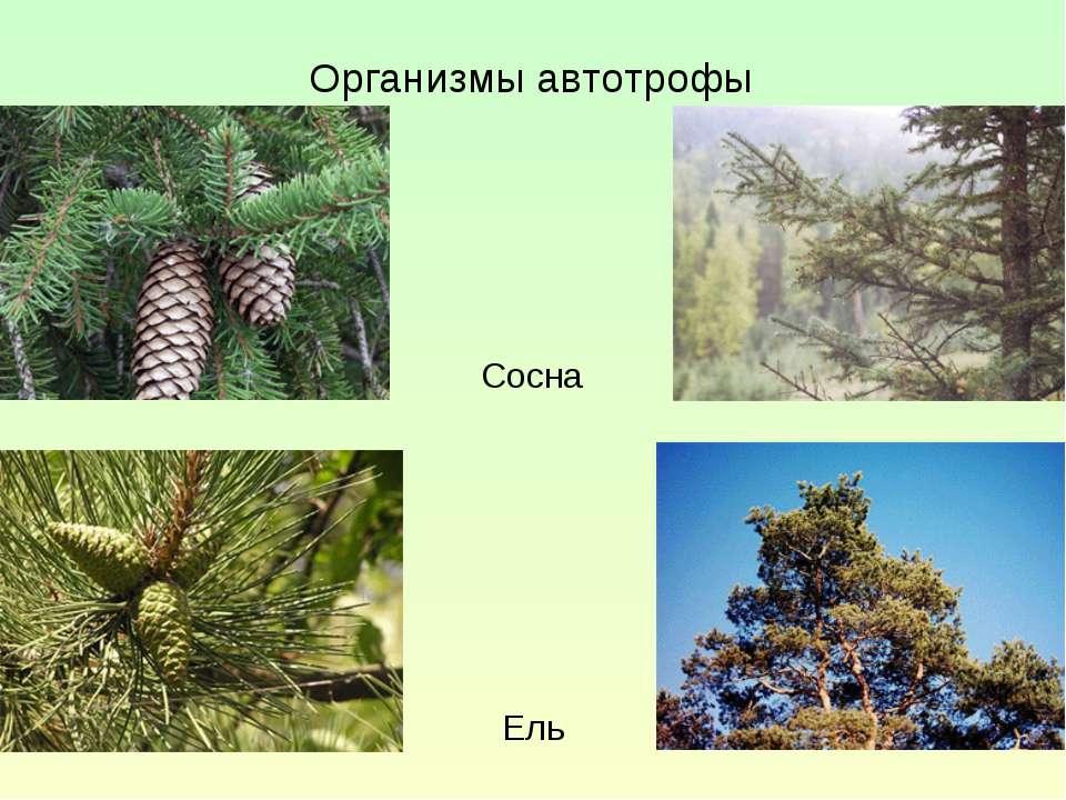 Организмы автотрофы Сосна Ель