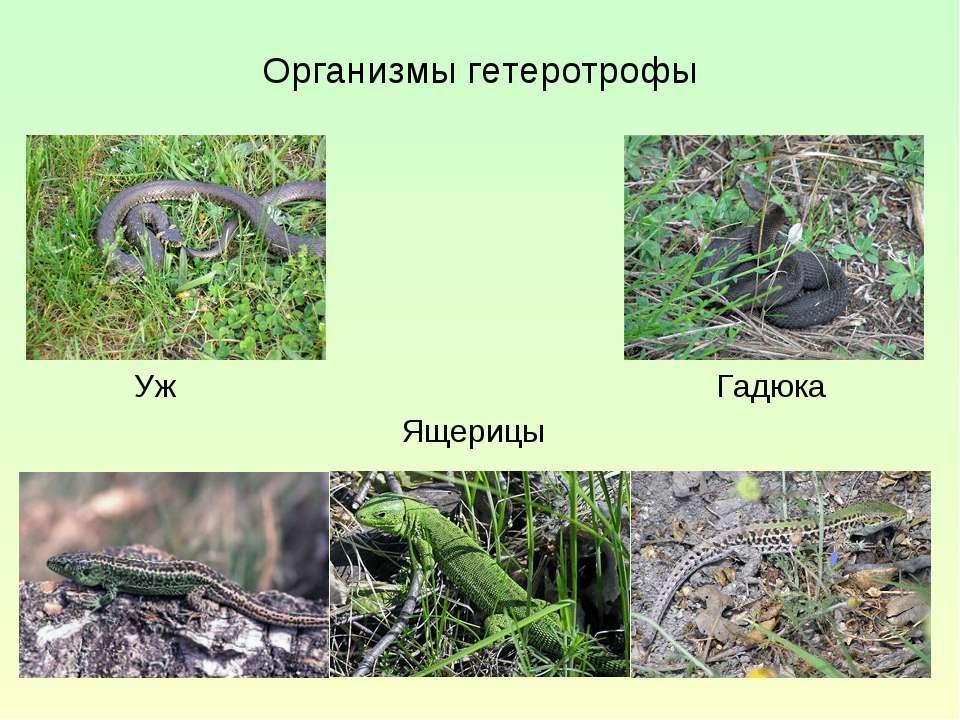 Организмы гетеротрофы Гадюка Уж Ящерицы