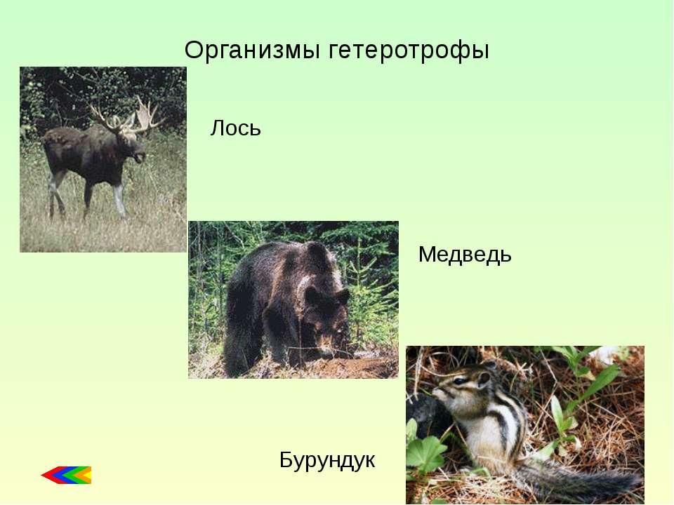 Организмы гетеротрофы Лось Медведь Бурундук