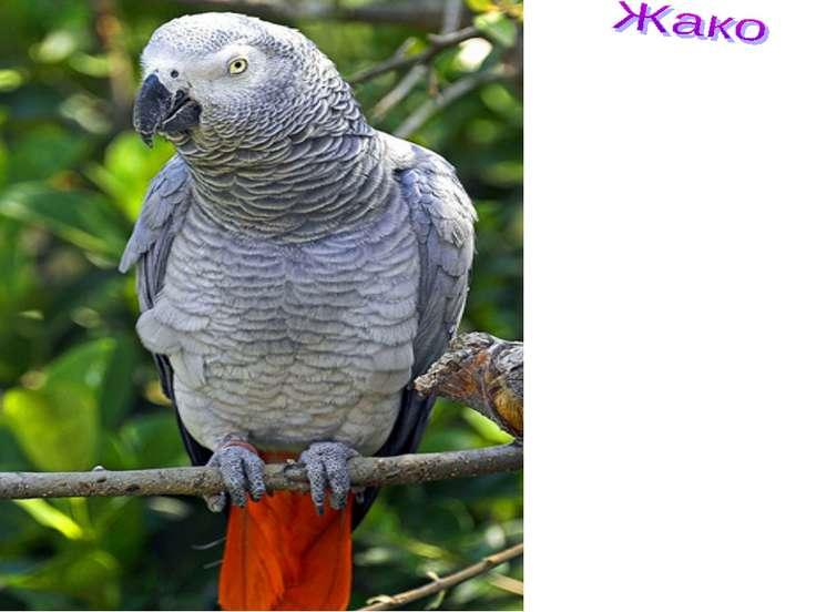 самый большой говорун из всех попугаев. Он может запомнить более 100 слов. Жа...