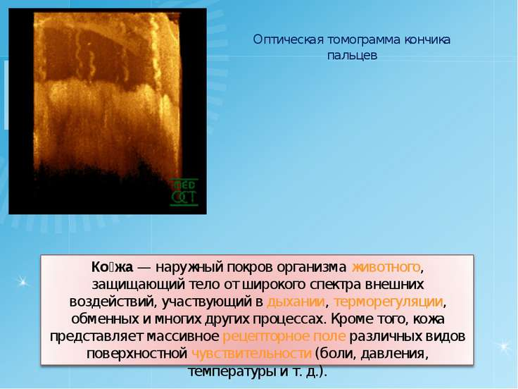 Оптическая томограмма кончика пальцев