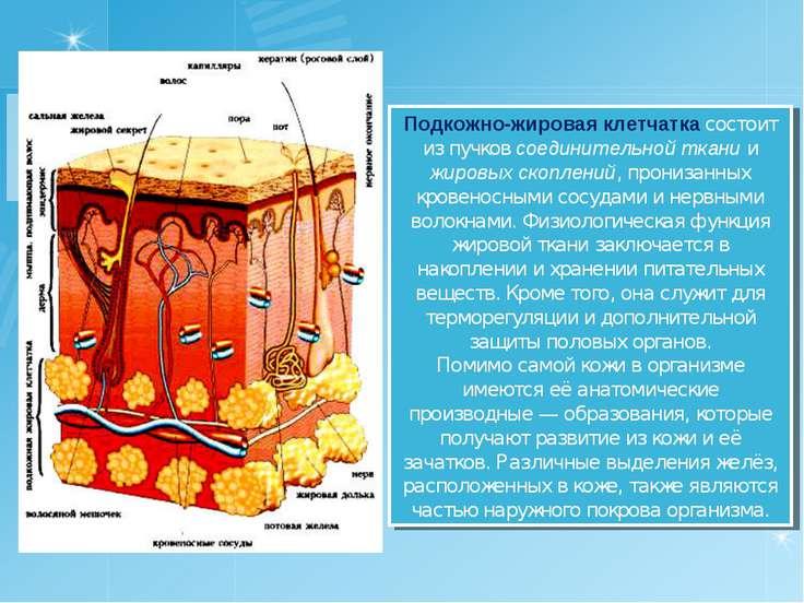 Подкожно-жировая клетчатка состоит из пучков соединительной ткани и жировых с...