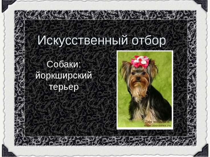 Искусственный отбор Собаки: йоркширский терьер