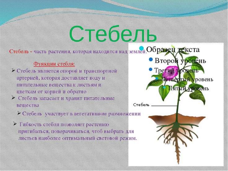Стебель Стебель - часть растения, которая находится над землей. Стебель являе...
