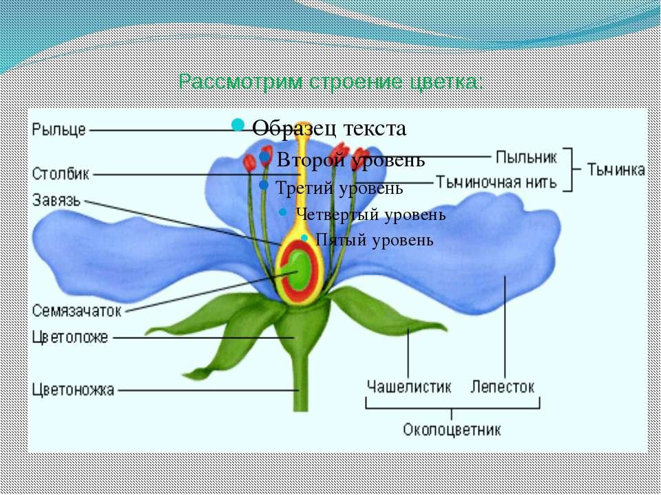 Рассмотрим строение цветка: