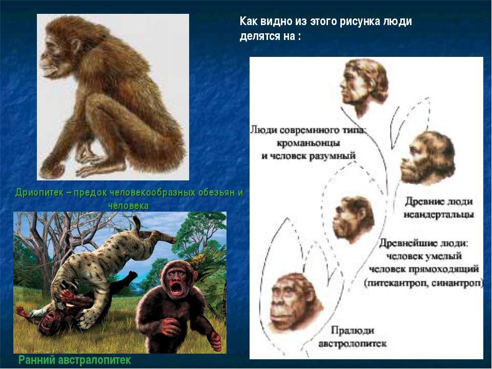 Дриопитек – предок человекообразных обезьян и человека Как видно из этого рис...
