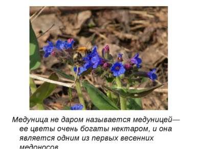 Медуница не даром называется медуницей— ее цветы очень богаты нектаром, и она...