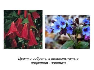 Цветки собраны в колокольчатые соцветия - зонтики.