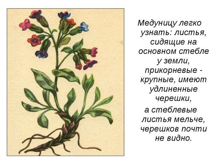 Медуницу легко узнать: листья, сидящие на основном стебле у земли, прикорневы...