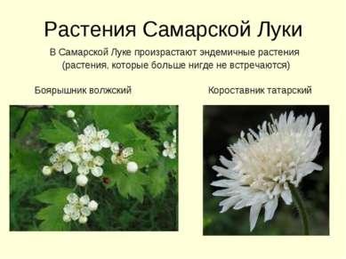 Растения Самарской Луки В Самарской Луке произрастают эндемичные растения (ра...