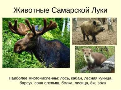 Животные Самарской Луки Наиболее многочисленны: лось, кабан, лесная куница, б...