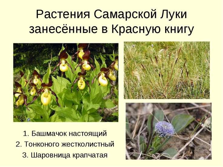Растения Самарской Луки занесённые в Красную книгу 1. Башмачок настоящий 2. Т...