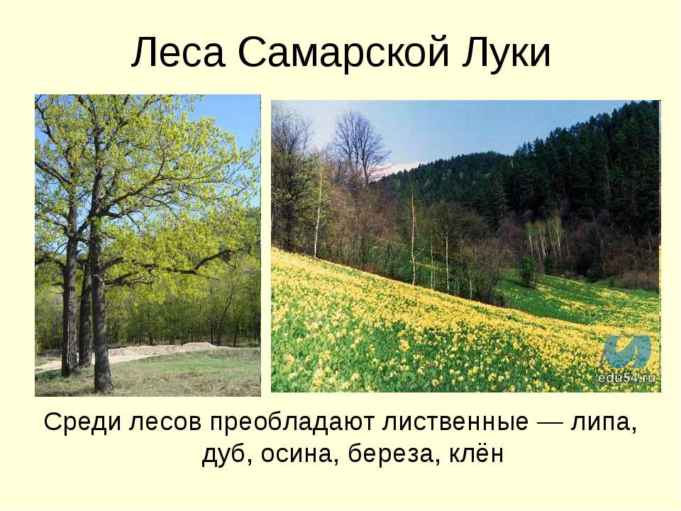Леса Самарской Луки Среди лесов преобладают лиственные — липа, дуб, осина, бе...