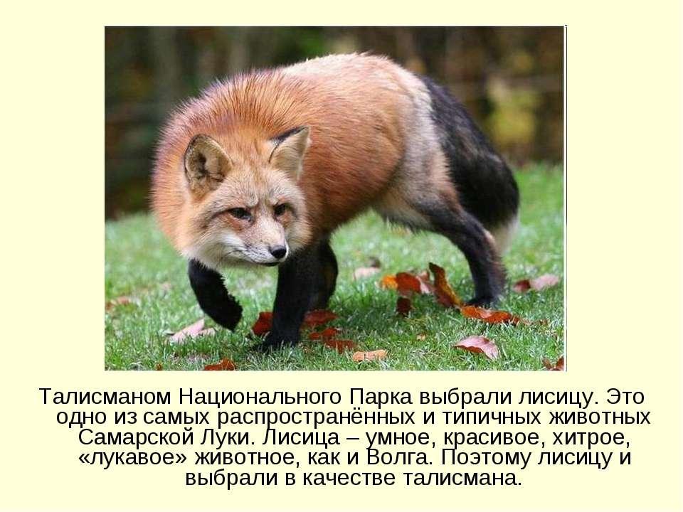 Талисманом Национального Парка выбрали лисицу. Это одно из самых распространё...