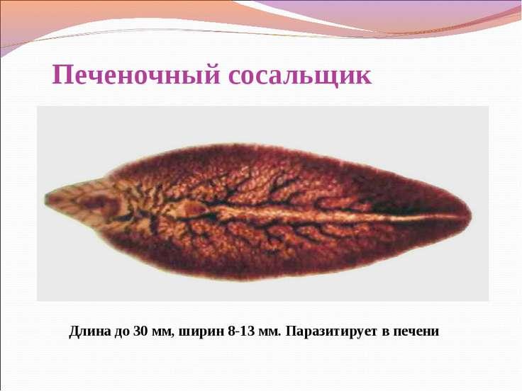 Печеночный сосальщик Длина до 30 мм, ширин 8-13 мм. Паразитирует в печени