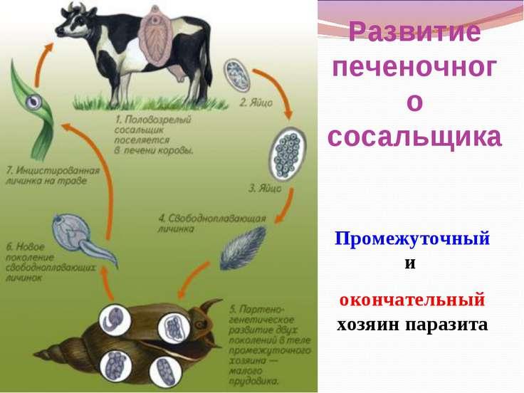 Промежуточный и окончательный хозяин паразита Развитие печеночного сосальщика
