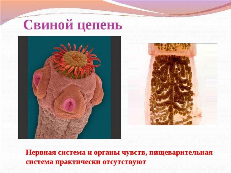 Свиной цепень Нервная система и органы чувств, пищеварительная система практи...