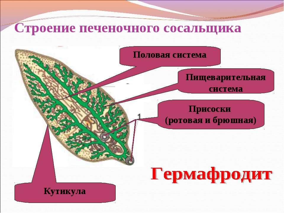 Строение печеночного сосальщика Присоски (ротовая и брюшная) Пищеварительная ...