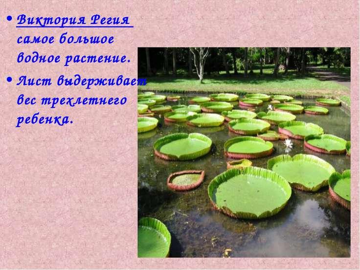 Виктория Регия самое большое водное растение. Лист выдерживает вес трехлетнег...