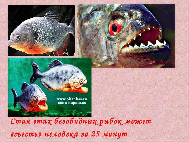 Стая этих безобидных рыбок может «съесть» человека за 25 минут