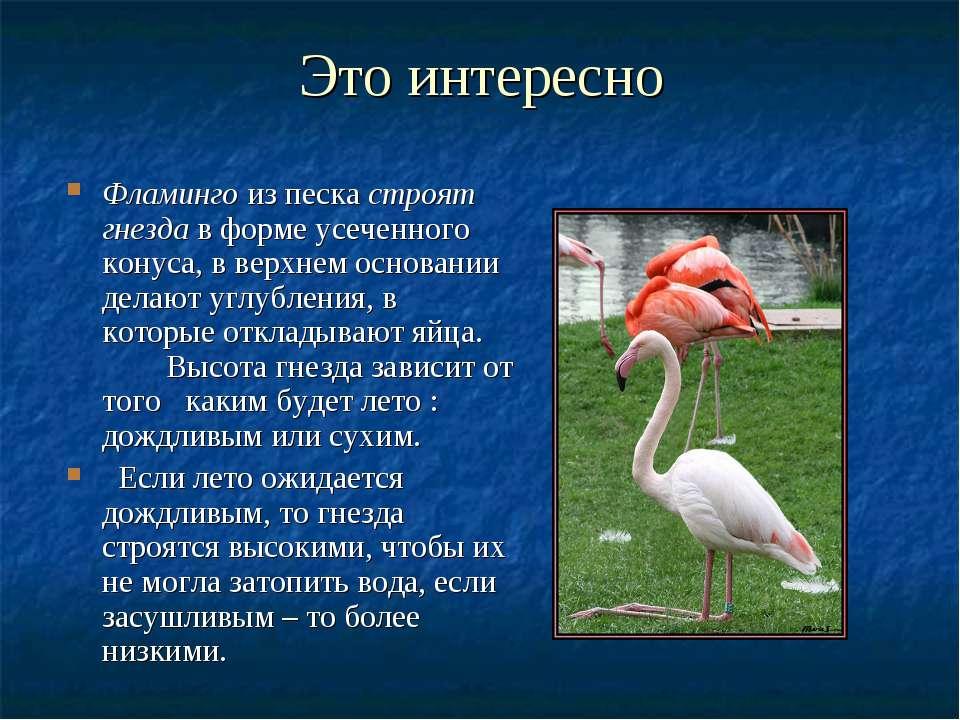 Это интересно Фламинго из песка строят гнезда в форме усеченного конуса, в ве...