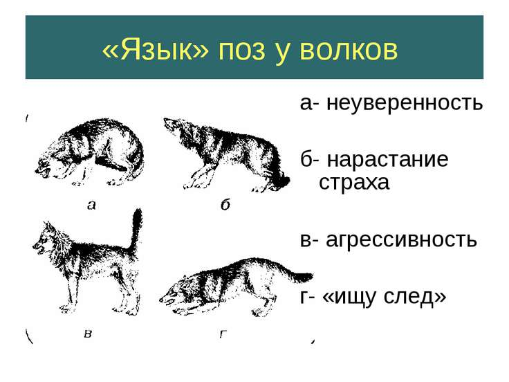 «Язык» поз у волков а- неуверенность б- нарастание страха в- агрессивность г-...