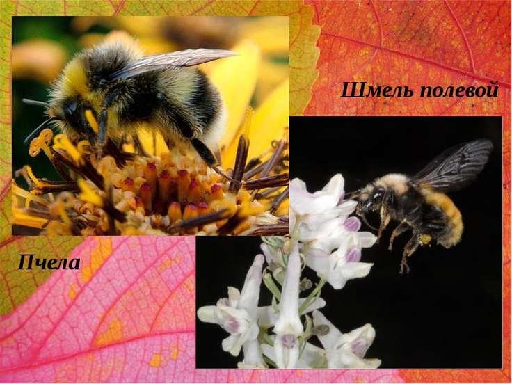 Шмель полевой Пчела