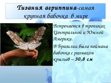 Тизания агриппина-самая крупная бабочка в мире Встречается в тропиках Централ...