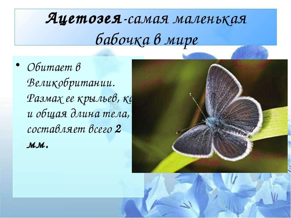 Ацетозея-самая маленькая бабочка в мире Обитает в Великобритании. Размах ее к...
