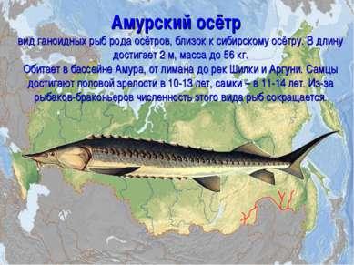 Амурский осётр вид ганоидных рыб рода осётров, близок к сибирскому осётру. В ...