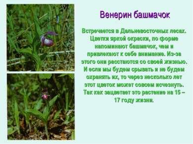 Венерин башмачок Встречается в Дальневосточных лесах. Цветки яркой окраски, п...