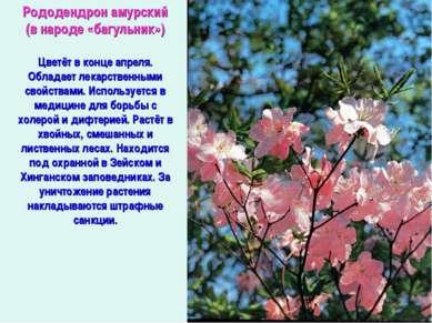 Рододендрон амурский (в народе «багульник») Цветёт в конце апреля. Обладает л...