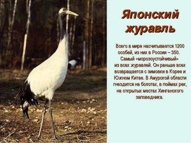 Японский журавль Всего в мире насчитывается 1200 особей, из них в России – 35...