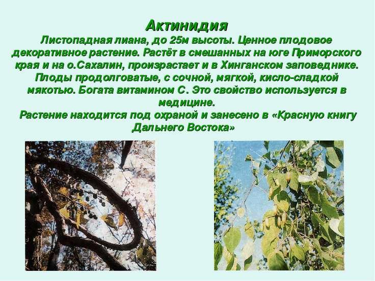 Актинидия Листопадная лиана, до 25м высоты. Ценное плодовое декоративное раст...