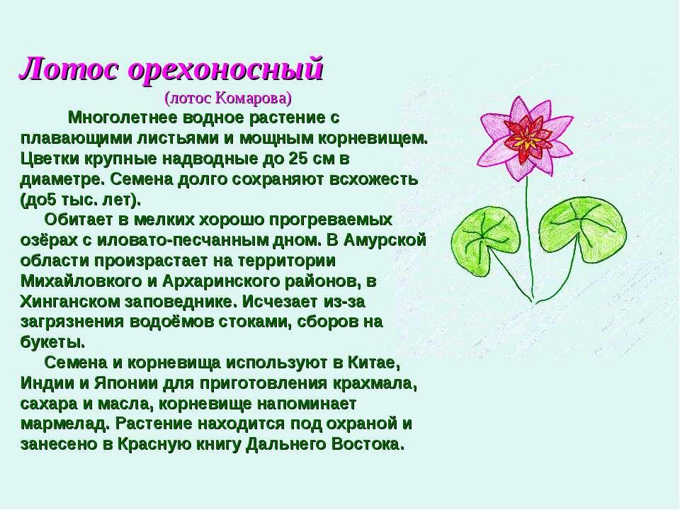 Лотос орехоносный (лотос Комарова) Многолетнее водное растение с плавающими л...