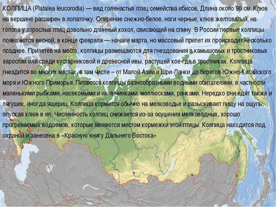 КОЛПИЦА (Platalea leucorodia) — вид голенастых птиц семейства ибисов. Длина о...
