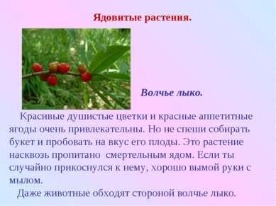 Красивые душистые цветки и красные аппетитные ягоды очень привлекательны. Но ...